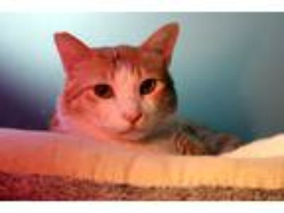 Adopt Leo a Orange or Red (Mostly) Domestic Shorthair (short coat) cat in
