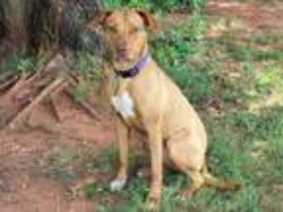 Adopt JAZZY a Pit Bull Terrier, Mixed Breed