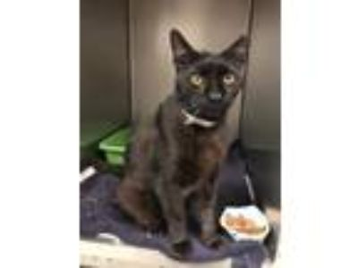 Adopt Juno a Domestic Short Hair