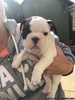little angel french bulldog baby