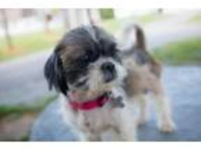 Adopt Gizmo - Not At the Shelter a Shih Tzu