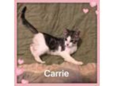 Adopt Carrie a Domestic Short Hair, Tabby