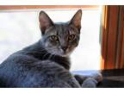 Adopt Violet a Gray or Blue Oriental cat in Mackinaw, IL (25300644)