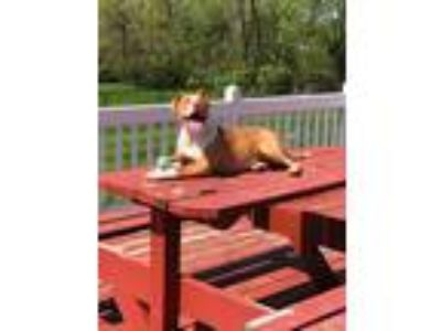 Adopt Kai a Tan/Yellow/Fawn - with White Pit Bull Terrier / American Pit Bull