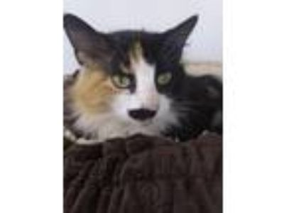 Adopt Mirage a Calico or Dilute Calico Domestic Longhair (long coat) cat in