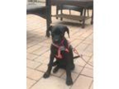 Adopt Miya KL in RI-Mona's pup COME MEET ME!! a Labrador Retriever