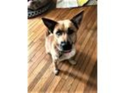 Adopt Sienna One Blue Eye Lived in a loving Home a Tan/Yellow/Fawn Shepherd
