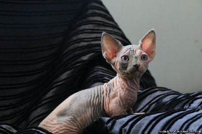 Bambino boy and girl Sphynx kittens