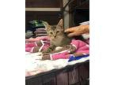 Adopt Samuel a Brown Tabby Abyssinian (short coat) cat in Lunenburg