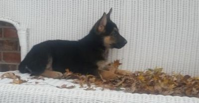 FDHJRSH GERMAN SHEPHERD PUPPIES AVAILABLE FOR SALE Text: (4O4) 692 XX 3714