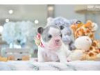Poetic French Bulldogs Blue Pied Female Emma