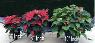 Poinsettias for sale! Color: RED, 3 sizes available!