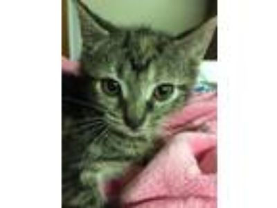 Adopt Lara a Tiger Striped Domestic Shorthair (short coat) cat in Forest Hills