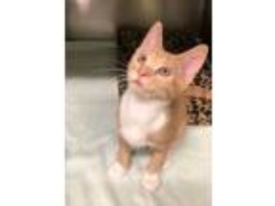 Adopt Jim Bob (Available Friday 6/7/2019) a Domestic Shorthair / Mixed cat in