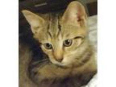 Adopt Jameson a Domestic Shorthair / Mixed (short coat) cat in Devon