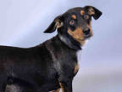 Adopt JERRY a Black Dachshund / Mixed dog in Ft Lauderdale, FL (25333828)