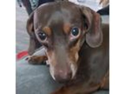 Adopt Harrison Heritage a Brown/Chocolate - with Tan Dachshund / Mixed dog in