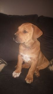English Bulldog/Rhodesian Ridgeback puppies