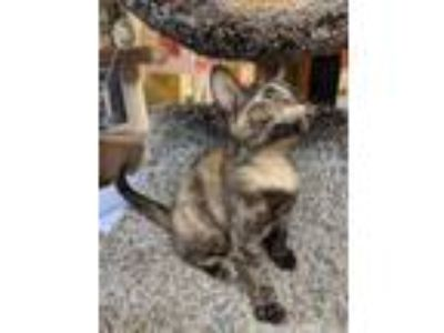 Adopt TOOTIE a Domestic Shorthair / Mixed (short coat) cat in Wintersville