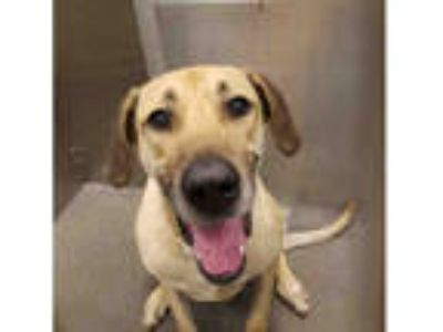 Adopt PATOTAS a Tan/Yellow/Fawn - with White Great Dane / Mixed dog in Dallas