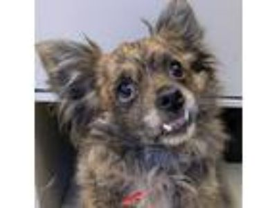 Adopt Flower a Brindle Pomeranian dog in Fresno, CA (25753810)