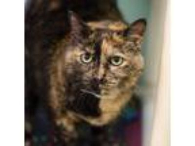 Adopt Tamara a Tortoiseshell Domestic Mediumhair cat in Auburn, AL (24745355)