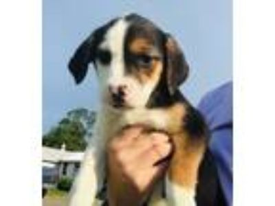 Adopt Baby Finley a Labrador Retriever / Beagle / Mixed dog in Potomac