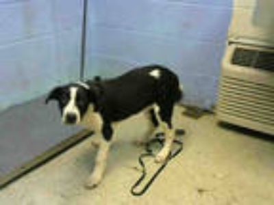 Adopt DORIS a Black - with White Border Collie / Mixed dog in Atlanta