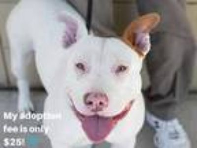 Adopt GOLETA a White - with Brown or Chocolate American Pit Bull Terrier / Mixed