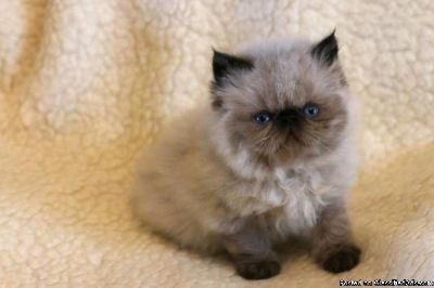 Happy Persian Kitten