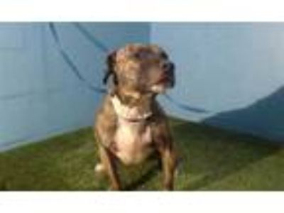Adopt RAVEN a Brindle - with White American Pit Bull Terrier / Mixed dog in