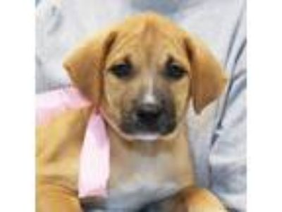 Adopt Taffy a Tan/Yellow/Fawn Mixed Breed (Large) / Mixed dog in Lansing