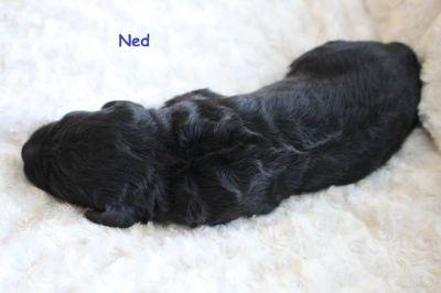 Labradoodle PUPPY FOR SALE ADN-104541 - Labradoodle F1b CKC Registered