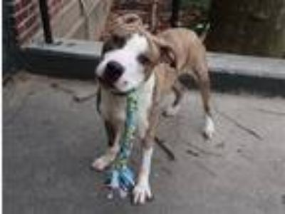 Adopt Spike a Brindle - with White American Pit Bull Terrier / Mixed dog in