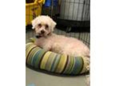 Adopt Buffalo Bob a White Poodle (Miniature) / Mixed dog in Amelia
