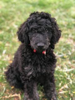 Goldendoodle F1b ~ Ready Now!