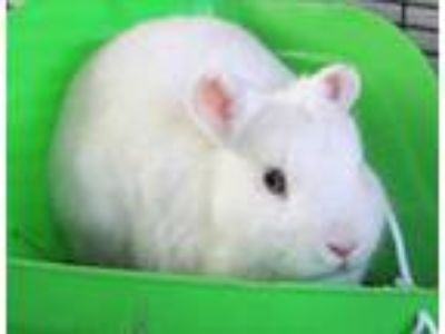 Adopt Baby Smurf a White American / Mixed rabbit in Honolulu, HI (25831283)