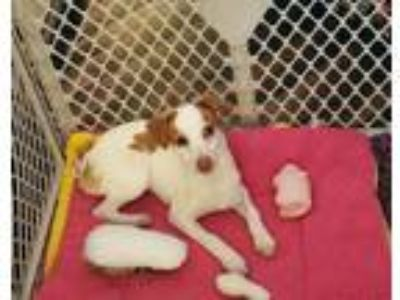 Adopt Maggie a Red/Golden/Orange/Chestnut - with White Jack Russell Terrier /