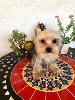 Yorkshire Terrier PUPPY FOR SALE ADN-112757 - Teacup Male Yorkie