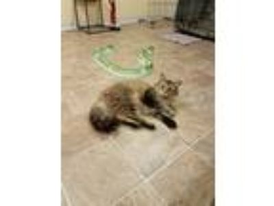 Adopt Penelope a Brown Tabby Maine Coon (medium coat) cat in Franklinville