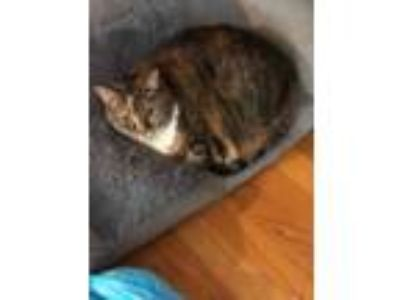 Adopt Bailey in Holtsville a Domestic Short Hair