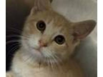 Adopt Scar a Tan or Fawn Domestic Shorthair / Domestic Shorthair / Mixed cat in