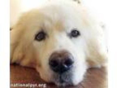 Adopt Snow - pending a White Great Pyrenees / Mixed dog in Beacon, NY (17488156)