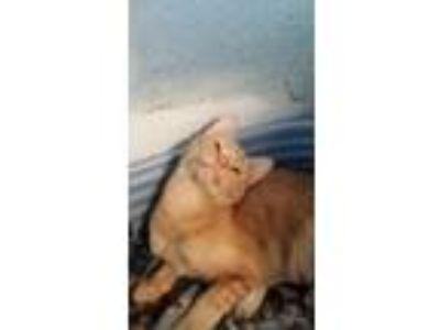 Adopt Jasper a American Shorthair