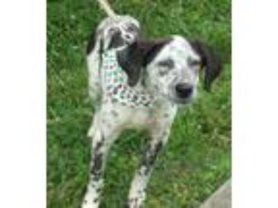 Adopt Cassie a Border Collie, Australian Cattle Dog / Blue Heeler