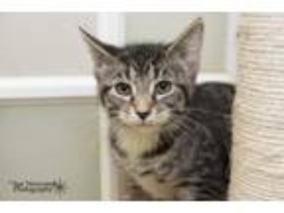 Adopt Bowser a Domestic Short Hair