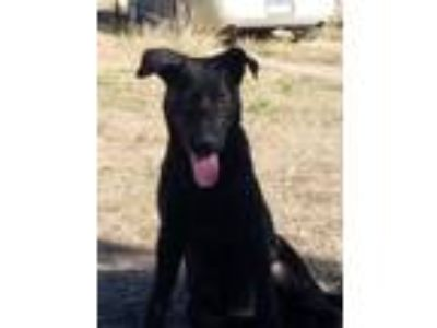 Adopt Hermione a German Shepherd Dog, Labrador Retriever