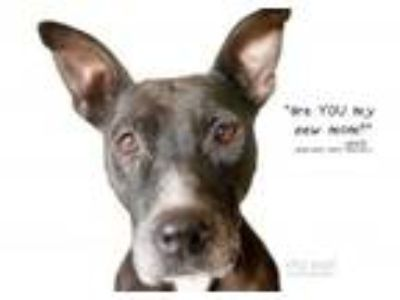 Adopt Jewlz a American Staffordshire Terrier, Cattle Dog