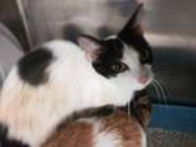 Adopt DUCHESS a Brown or Chocolate (Mostly) Domestic Shorthair / Mixed (short