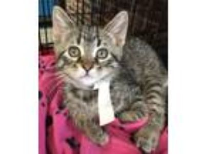 Adopt Levaquin a Domestic Short Hair